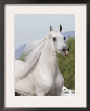 Grey Arabian Stallion Portrait, Ojai, California, USA Prints by Carol Walker