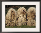 Domestic Dogs, Three Pulik / Hungarian Water Dogs Sitting Together Posters by Adriano Bacchella