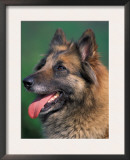 Domestic Dogs, Belgian Malinois / Shepherd Dog Face Portrait Prints by Adriano Bacchella