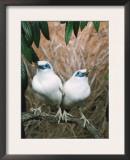 Rothschild's / Bali Mynah Birds (Leucopsar Rothschildi) Prints by  Reinhard