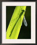 Blue-Tailed Damselfly, Silhouette on Leaf, Tamar Lake, Cornwall, UK Print by Ross Hoddinott