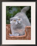 Scottish Fold Blue-Cream Cat Prints by De Meester