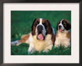 St. Bernard with Puppy in Grass Posters by Adriano Bacchella