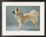 Eurasian Dog, Belgium Posters by Petra Wegner