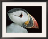 Puffin Portrait, Runde, Norway Prints by Bence Mate