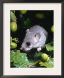 Fat / Edible Dormouse (Glis Glis) Europe Posters by  Reinhard