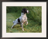 English Springer Spaniel, Wet and Alert, USA Posters by Lynn M. Stone