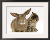 British Shorthair Brown Tabby Female Kitten Looking Inquisitivly at Young Agouti Rabbit Prints by Jane Burton