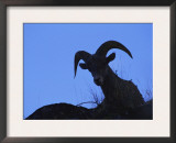 Bighorn Sheep, Silhouette of Ram, Yellowstone National Park, Wyoming, USA Prints by Niall Benvie