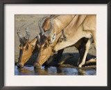 Red Hartebeest, Adults and Young Drinking, Etosha National Park, Namibia Poster by Tony Heald