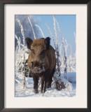 Wild Boar in Winter (Sus Scrofa), Europe Posters by  Reinhard