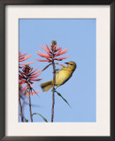 Hooded Oriole Female at Flower, Texas, USA Prints by Rolf Nussbaumer