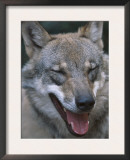 Grey Wolf Portrait, Czech Republic Prints by Niall Benvie