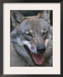 Grey Wolf Portrait, Czech Republic Prints by Niall Benvie