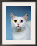 Domestic Cat, Odd-Eyed Poster by  Reinhard