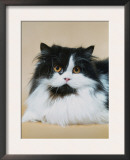 Persian Cat, Bicolour (Felis Catus) Prints by  Reinhard