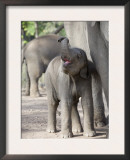 Baby Indian Elephant, Will be Trained to Carry Tourists, Bandhavgarh National Park, India Prints by Tony Heald