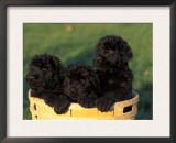 Domestic Dogs, Three Russian Black Terrier Puppies in a Basket Poster by Adriano Bacchella