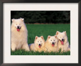 Domestic Dogs, Samoyed Family Panting and Resting on Grass Prints by Adriano Bacchella
