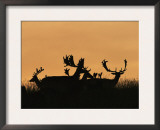 Male Fallow Deer, Silhouettes at Dawn, Tamasi, Hungary Prints by Bence Mate