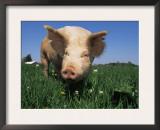 Domestic Pig Portrait, USA Prints by Lynn M. Stone