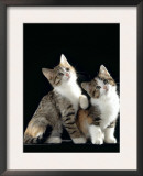 Domestic Cat, Two 8-Week Tabby Tortoiseshell and White Kittens Prints by Jane Burton