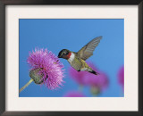 Ruby Throated Hummingbird, Feeding from Flower, USA Posters by Rolf Nussbaumer