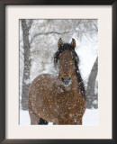 Bay Andalusian Stallion Portrait with Falling Snow, Longmont, Colorado, USA Poster by Carol Walker