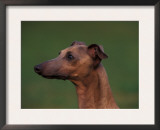Domestic Dogs, Whippet Portrait Posters by Adriano Bacchella