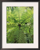High Angle View Through Tree Fern, Monteverde Natural Reserve, Costa Rica Prints by Juan Manuel Borrero