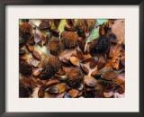 Beechnuts (Fagus Sylvatica) Europe Posters by  Reinhard