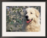 Pyrenean Mountain Dog Portrait Prints by Adriano Bacchella