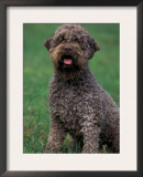 Domestic Dog -Lagotta Romagnolo Sitting Portrait Print by Adriano Bacchella