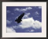 A Condor, Chile Posters by Pablo Sandor