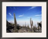 Cacti on Inkawasi Island, Salar De Uyuni, Uyuni Salt Flats, Bolivia, South America Posters by Rhonda Klevansky
