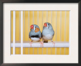 Spotted Sided Zebra Finches, Pair in Cage (Poephila / Taeniopygia Guttata) Print by  Reinhard