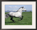 Grey Andalusian Stallion Cantering with Rocky Mtns Behind, Colorado, USA Posters by Carol Walker