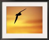 Silhouette of Cape / Pintado Petrel, in Flight, Antarctica Posters by David Tipling