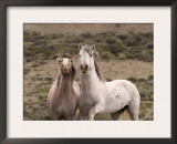 Mustang / Wild Horse, Grey Stallion and Filly, Wyoming, USA Adobe Town Hma Prints by Carol Walker