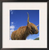 Domesticated Highland Cow, Aberfoyle, Argyll, Scotland, UK Prints by Niall Benvie