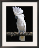 White or Umbrella Cockatoo Print by Lynn M. Stone