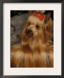 Yorkshire Terrier with Hair Tied up and Very Long Hair Art by Adriano Bacchella