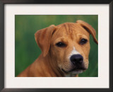 Pit Bull Terrier Puppy Portrait Art by Adriano Bacchella