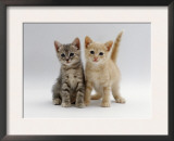 Domestic Cat, Tabby and Cream Kittens Posters by Jane Burton