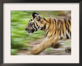 Tiger Cub Running, Four-Month-Old, Bandhavgarh National Park, India Print by Tony Heald