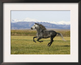 Gray Andalusian Stallion, Cantering Profile, Longmont, Colorado, USA Prints by Carol Walker