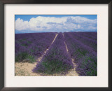 Lavender Field in Flower, Provence, France (Lavendula Angustifolia) Posters by  Reinhard
