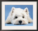 West Highland White Terrier Poster by  Steimer