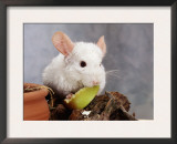 White Long-Tailed Chinchilla Feeding Poster by  Steimer
