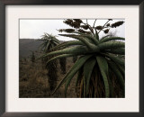 Plants in South Africa Posters by Ryan Ross